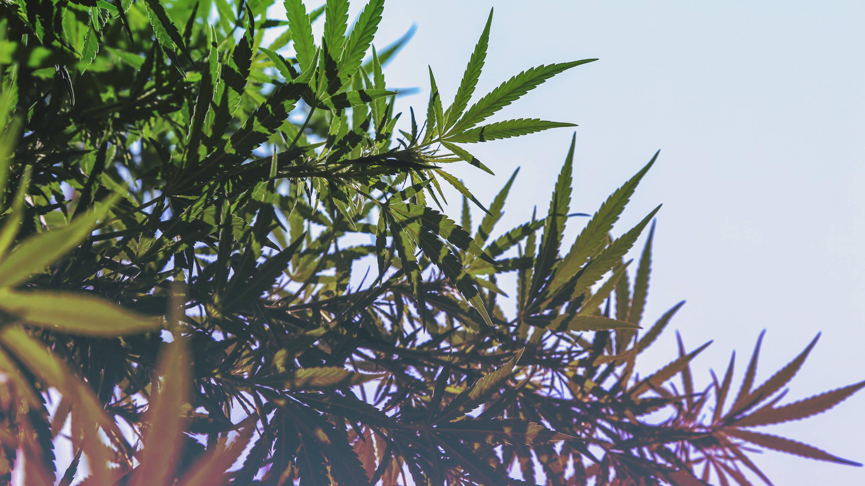 Cannabis playboy invest
